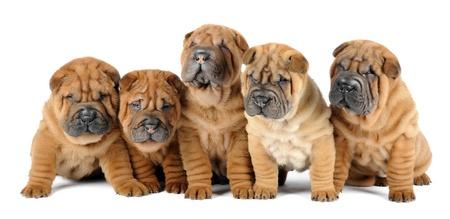 threesome: Five shar pei puppies