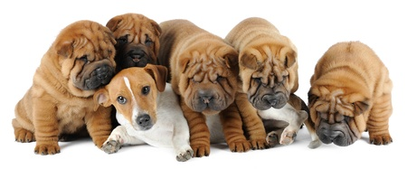 Five shar pei puppies an d Jack Russell Terrier