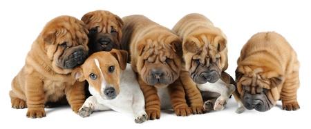 Five shar pei puppies an d Jack Russell Terrier photo