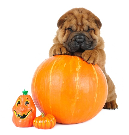 cute halloween: Shar pei puppy