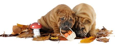 sharpei: Two shar pei puppies in studio Stock Photo