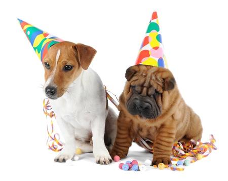 perros graciosos: Shar pei y Jack Russell Terrier en el estudio