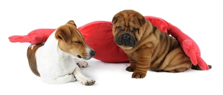 Shar pei puppy and a Jack Russel Terrier in studio photo