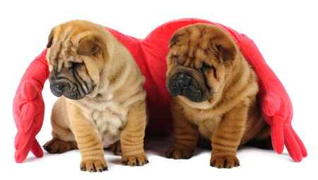 Two shar pei puppies in studio photo
