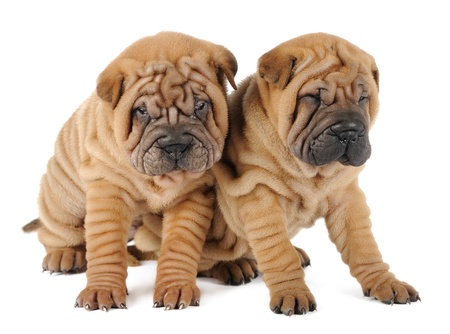 perro boxer: Dos cachorros Shar Pei en el estudio