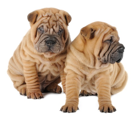 sharpei: Two shar pei puppies in studio Stock Photo