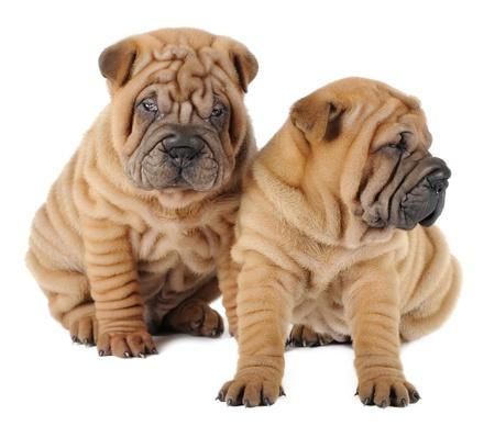 closeup puppy: Two shar pei puppies in studio Stock Photo