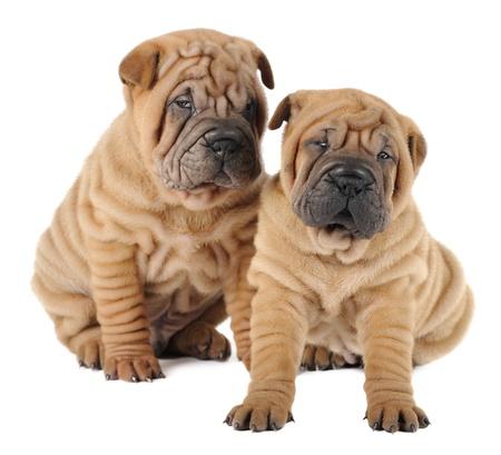 clumsy: Dos cachorros Shar Pei en el estudio