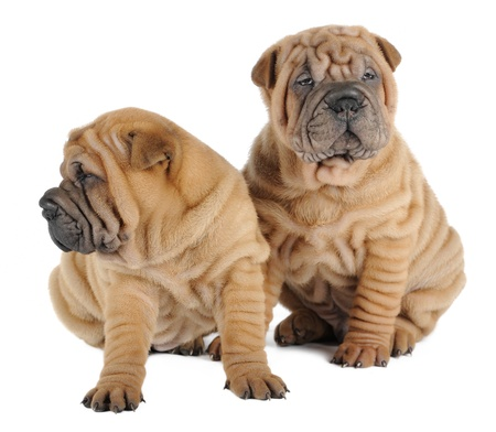 wrinkly: Two shar pei puppies in studio Stock Photo