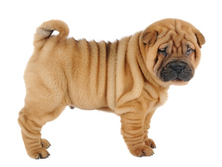 wrinkles: Shar pei puppy in studio Stock Photo