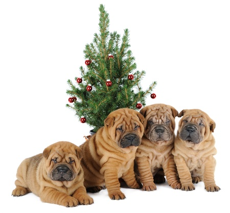 Four shar pei puppies under a christmas tree photo