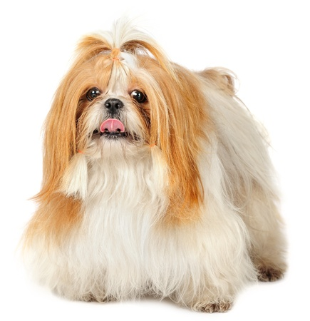 Shih Tzu dog in studio  Stock Photo