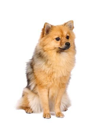 shape cub: Pomeranian Spitz dog in studio Stock Photo