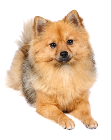 pomeranian: Pomeranian Spitz dog in studio Stock Photo