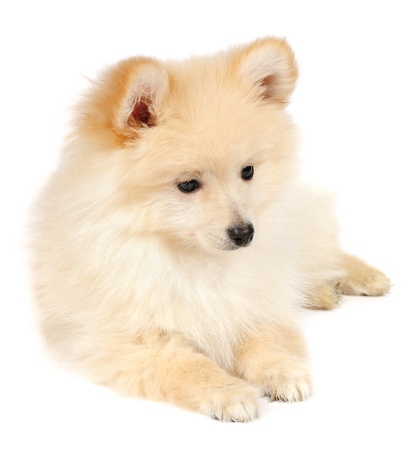Pomeranian Spitz dog in studio photo