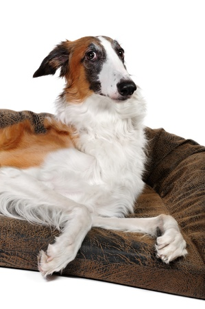 Borzoi dog in studio photo