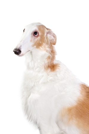 rare animals: Borzoi dog in studio