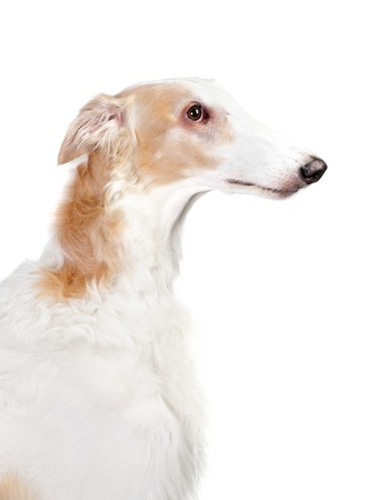 Borzoi dog in studio