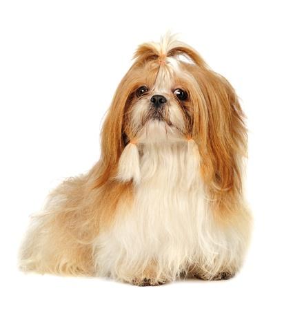Shih Tzu dog  in studio  photo
