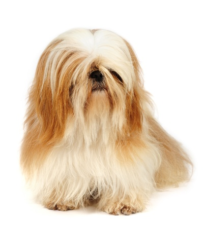 tzu: Shih Tzu dog  in studio  Stock Photo