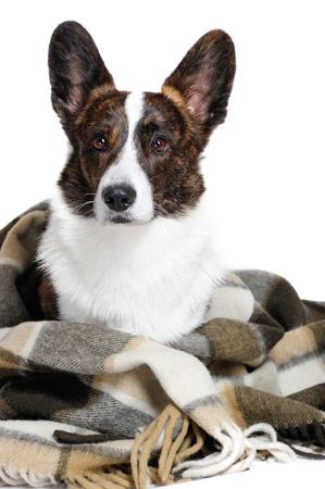 welsh: Welsh corgi pembroke dog in studio Stock Photo