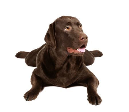 Chocolate labrador dog in studio on white background photo