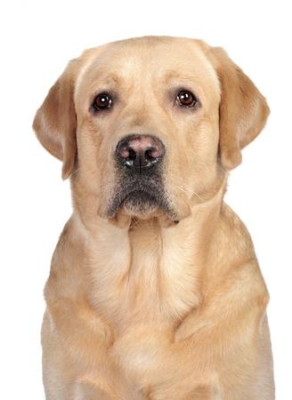 Labrador in studio Standard-Bild