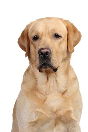 Labrador dog in studio photo