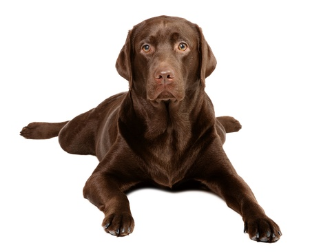 Chocolate labrador in studio photo