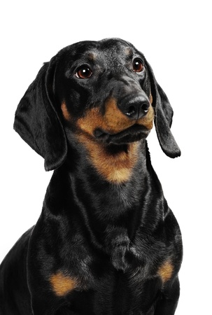 Dachshund dog in studio Standard-Bild