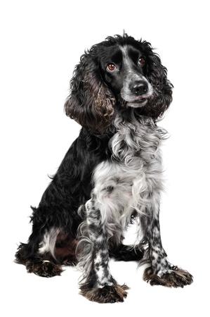 perro de caza: Perro spaniel de Rusia en el estudio Foto de archivo