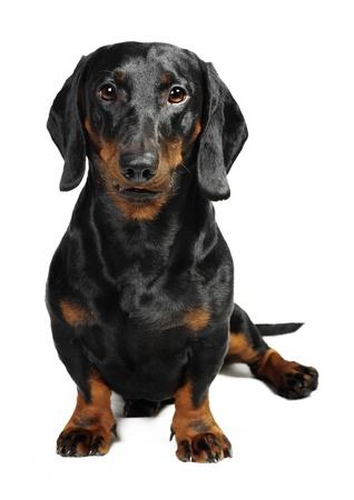 dachshund: Dachshund dog in studio Stock Photo