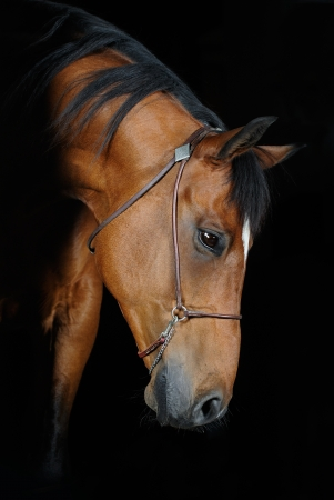 Trakehner horse (photo with studio lightning) photo