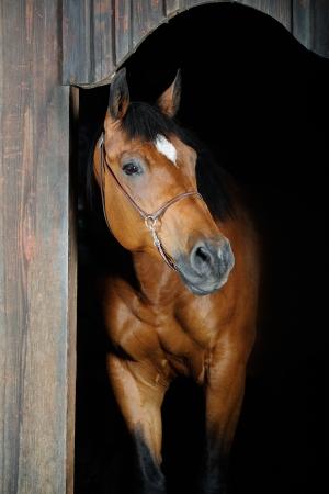 trakehner: Trakehner horse (photo with studio lightning)
