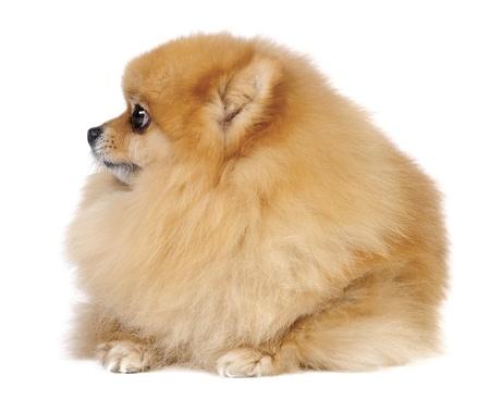Pomeranian Spitz dog in studio Standard-Bild