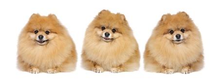 threesome: Pomeranian Spitz dog in studio Stock Photo
