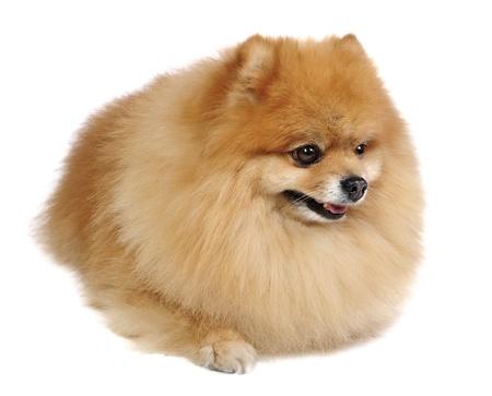 Pomeranian Spitz dog in studio photo