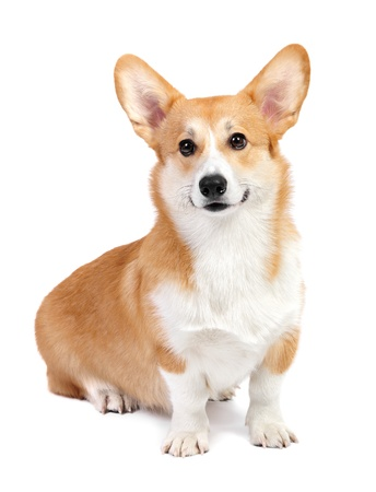 Corgi dog in studio