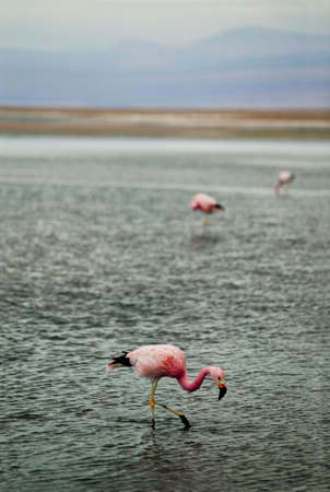 shallow water: A group of flamingos searching fish in shallow water at the Atacama Desert, Chile. Stock Photo