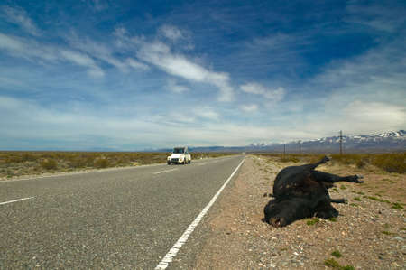 White french veteran car comes along where a black dead cow is laying beside the highway.