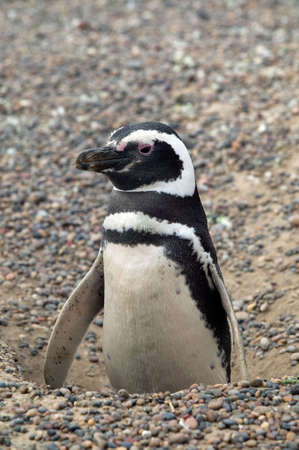 Magellanic penguin coming out of the nest. photo