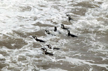 waddling: A group of male Magellanic Penguins, swimming in the Atlantic Ocean. Stock Photo