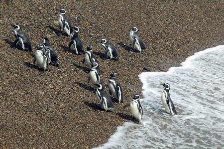 waddling: A group of Magellanic Penguins leaving the Atlantic Ocean at Peninsula Valdes, Argentina. Stock Photo