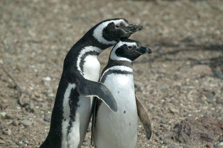 A cute couple of Magellanic Penguins in a human pose. photo