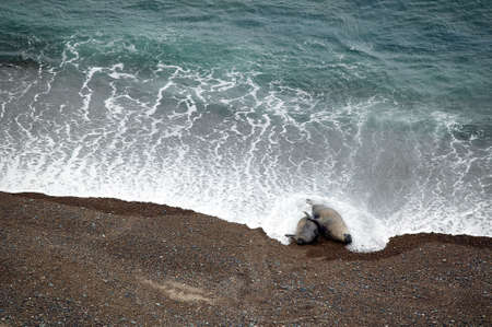 copulate: A couple of elephant seals (Mirounga angustirostris) copulating. Stock Photo