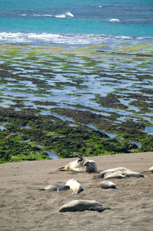 copulate: A southern elephant seal, laying on the beach with his harem.