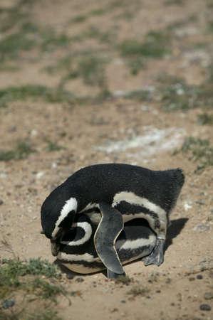 copulate: A couple of Magellanic Penguins making love at Peninsula Valdes, Argentina.