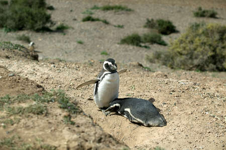 A cute couple of Magellanic Penguins sunbathing.  photo