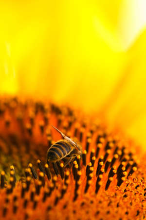 farina: Close-up of a bee, collecting farina on a sunflower. Stock Photo