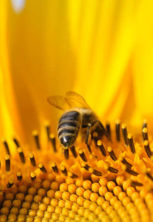farina: Close-up of a hard working bee, collecting farina on a yellow sunflower.